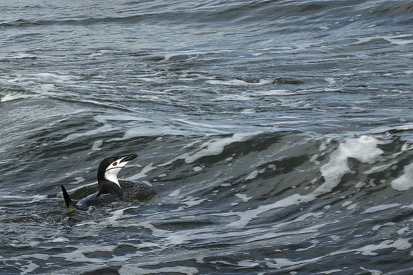 Wall Art - Photograph - Chinstrap Penguin Swimming by Bruce J Robinson
