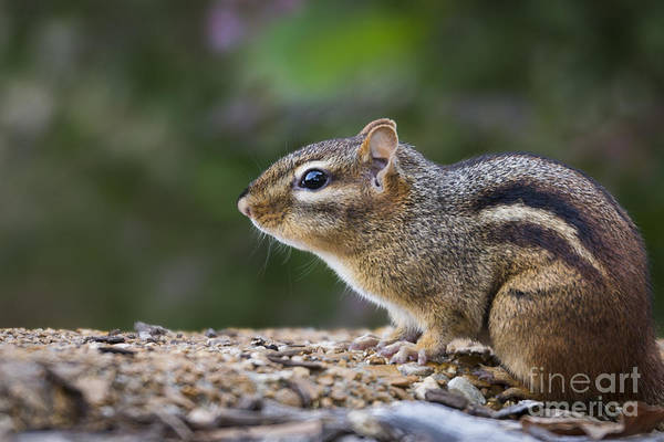 Photograph - Chipmunk   by Andrea Silies