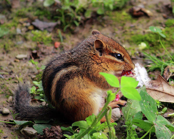 Photograph - Chipmunk Eating Berry by Angela Murdock