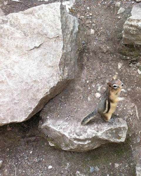 Photograph - Chipmunk by Emily Page
