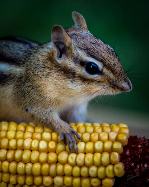 Chipmunk Goes Wild For Corn Art Print