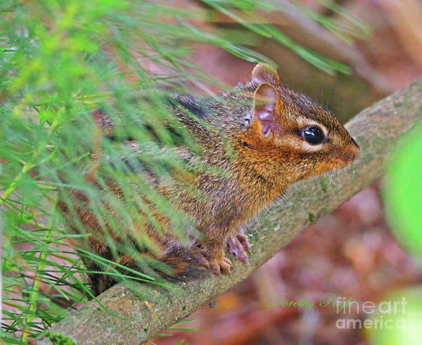 Photograph - Chipmunk In The Woods by Dorothy Pugh