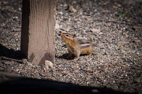 Photograph - Chipmunk  by Joseph Caban