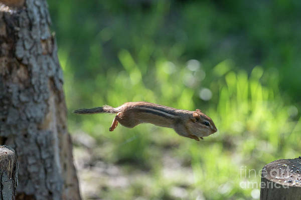 Photograph - Chipmunk Jumping To Other Log by Dan Friend