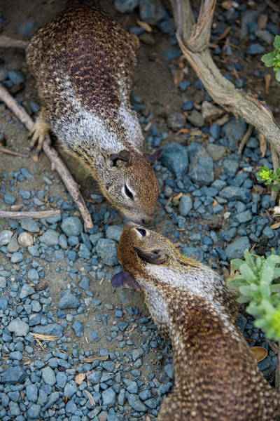 Photograph - Chipmunk Love by Dillon Kalkhurst