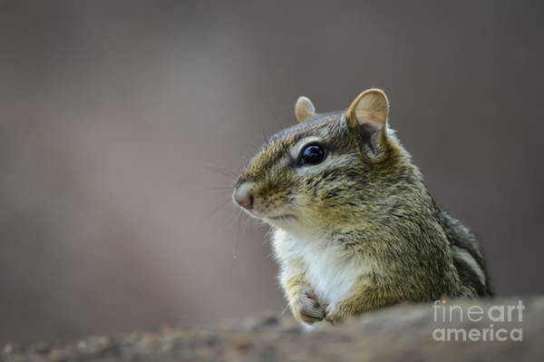 Photograph - Chipmunk Profile by Andrea Silies