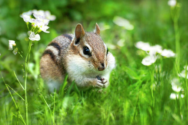 Photograph - Chipmunk Saving Seeds by Christina Rollo