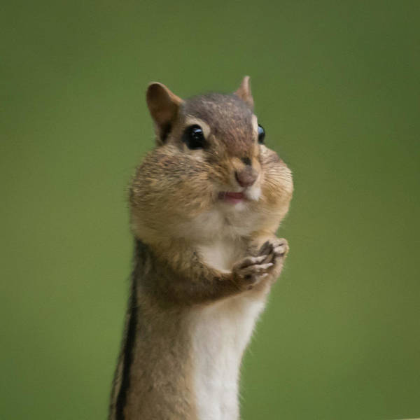 Photograph - Chipmunk Smile Square by Terry DeLuco