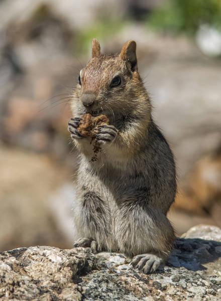 Photograph - Chipmunk Snacking by Loree Johnson