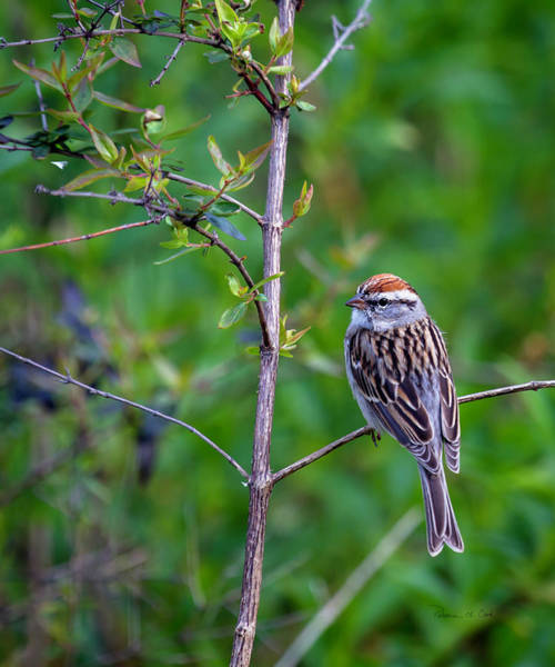 Photograph - Chipping Sparrow by Bellesouth Studio