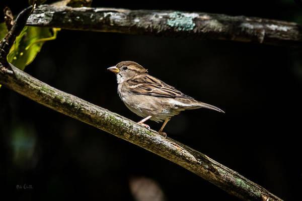 Photograph - Chipping Sparrow by Bob Orsillo