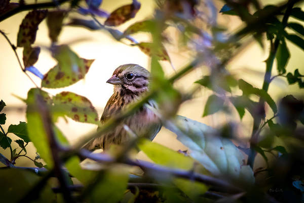 Photograph - Chipping Sparrow In The Brush by Bob Orsillo