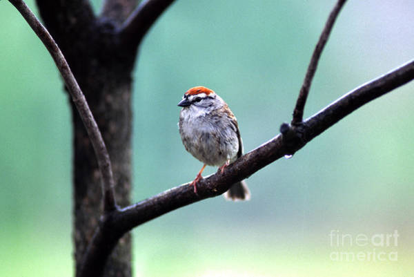 Photograph - Chipping Sparrow by Thomas R Fletcher