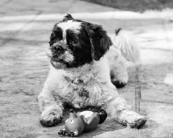 Photograph - Sambucca And His Toy Bw by Kristia Adams