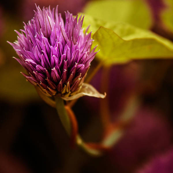 Photograph - Chive Blossom - Square by Chris Bordeleau