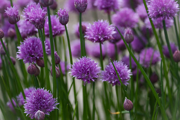 Photograph - Chives by Clare Bambers