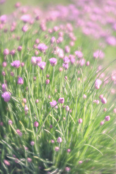 Photograph - Chives by Jennifer Grossnickle
