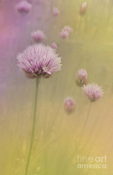 Photograph - Chives by Pam  Holdsworth