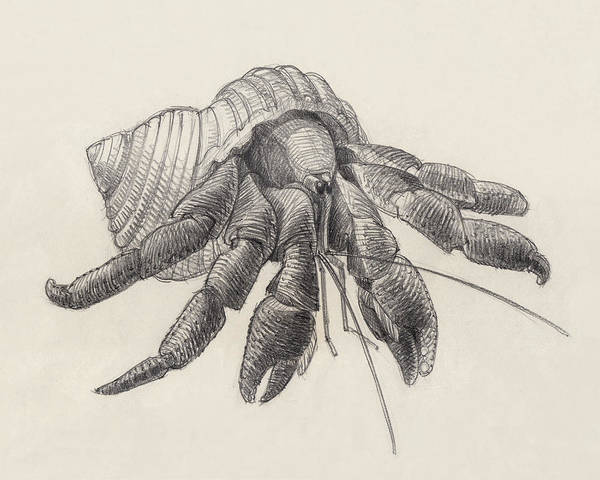 Drawing - Chocolate Hermit Crab by Judith Kunzle