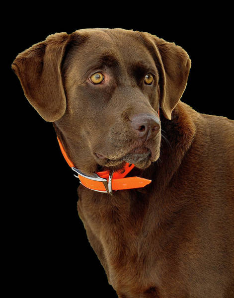 Photograph - Chocolate Lab by William Jobes