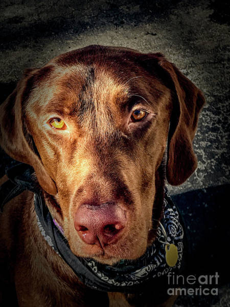 Photograph - Chocolate Lab by William Norton