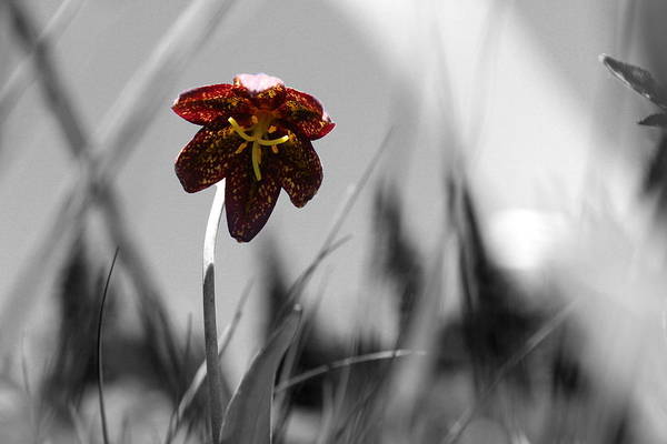 Hurricane Lily Photograph - Chocolate Lily Three by Nicholas Miller