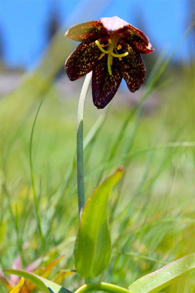 Hurricane Lily Photograph - Chocolate Lily Two by Nicholas Miller