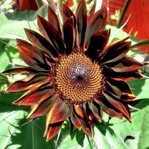 Photograph - Chocolate Sunflower by 'REA' Gallery