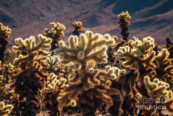 Photograph - Cholla Cactus #3 Joshua Tree National Park by Blake Webster