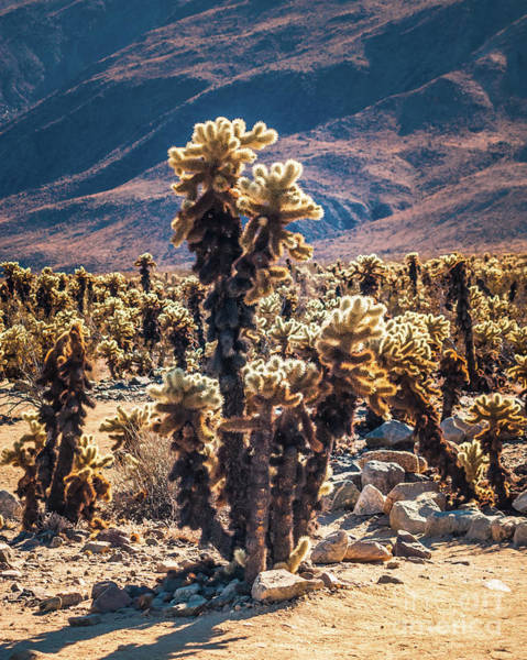 Photograph - Cholla Cactus #4 Joshua Tree National Park by Blake Webster