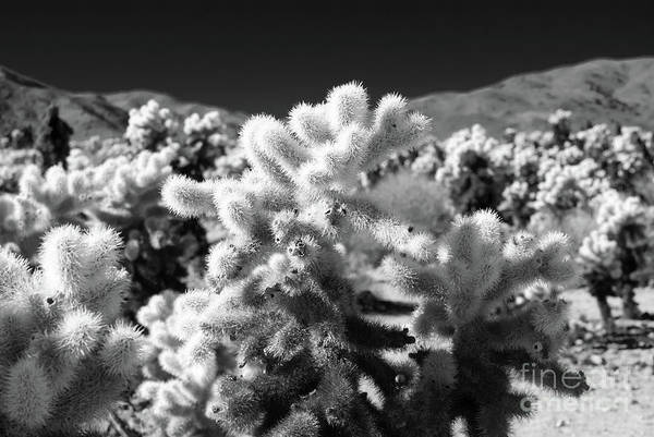 Photograph - Cholla Cactus #5 Joshua Tree National Park by Blake Webster