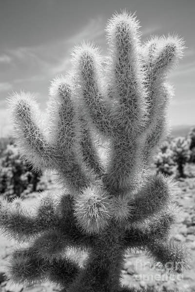 Wall Art - Photograph - Cholla Cactus Bw by Michael Ver Sprill