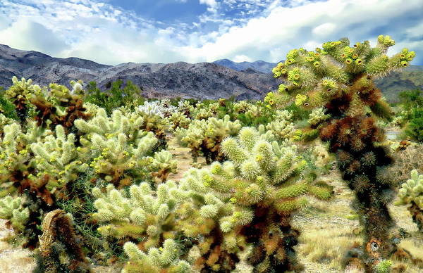Photograph - Cholla Cactus Garden by Anthony Dezenzio