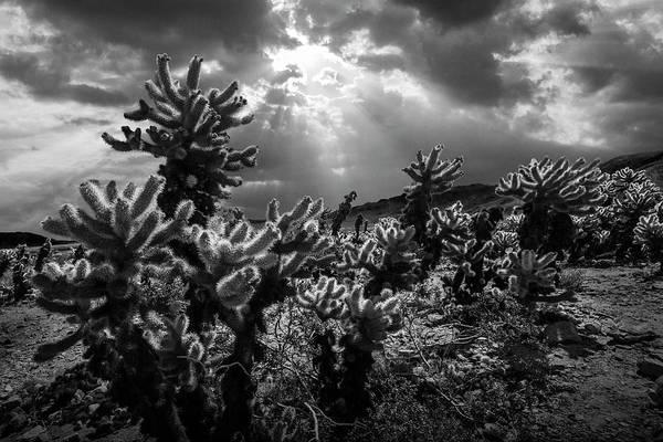 Cylindropuntia Bigelovii Photograph - Cholla Cactus Garden Bathed In Sunlight In Black And White by Randall Nyhof