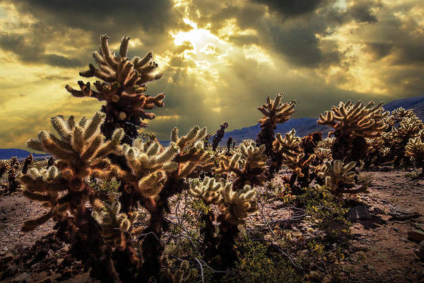 Cylindropuntia Bigelovii Photograph - Cholla Cactus Garden Bathed In Sunlight In Joshua Tree National Park by Randall Nyhof