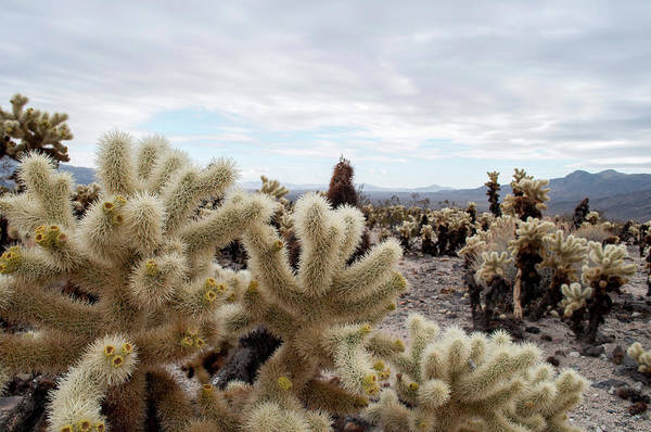 Cylindropuntia Bigelovii Wall Art - Photograph - Cholla Cactus Garden Landscape II by Kyle Hanson