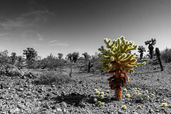 Photograph - Cholla Cactus by Harold Coleman