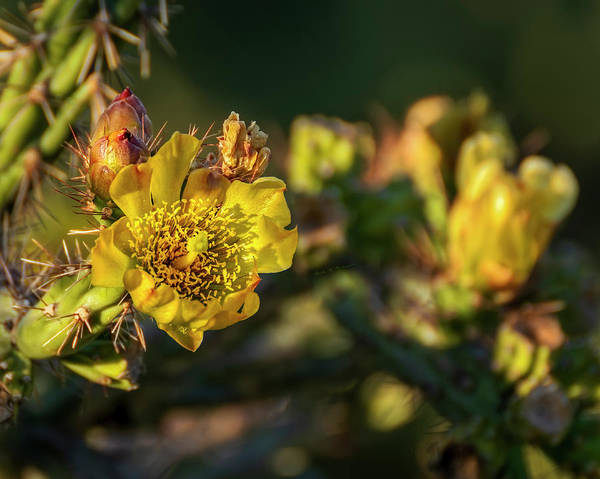 Photograph - Cholla Flower H1811 by Mark Myhaver