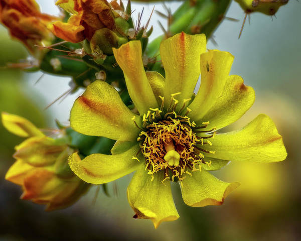 Photograph - Cholla Flower H1848 by Mark Myhaver