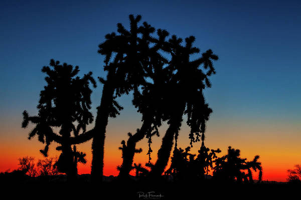 Photograph - Cholla Silhouettes by Rick Furmanek