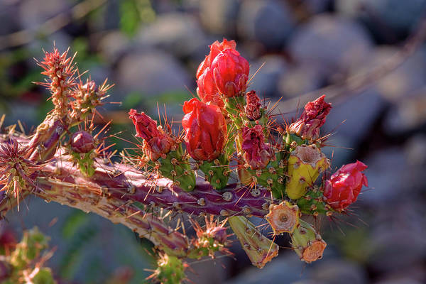 Photograph - Cholla Spice H1821 by Mark Myhaver