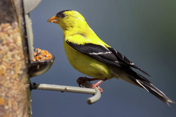 Southern Ontario Photograph - Chowing Down - American Goldfinch - Spinus Tristis by Spencer Bush