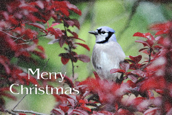 Photograph - Christmas And Blue Jay by Trina Ansel