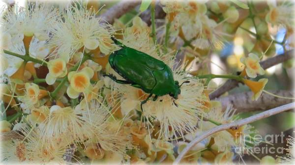 Evie Photograph - Christmas Beetle by Evie Hanlon
