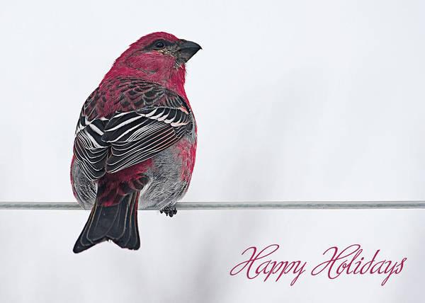 Pine Grosbeak Photograph - Christmas Bird Happy Holidays by Maggie Terlecki