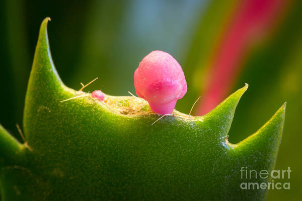 Cactus Flower Wall Art - Photograph - Christmas Cactus Bud by Lutz Baar