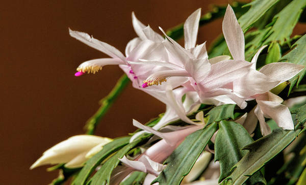 Photograph - Christmas Cactus by Dave Bosse