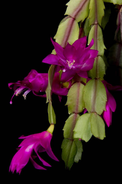 Photograph - Christmas Cactus Purple Flower Blooms by James BO Insogna