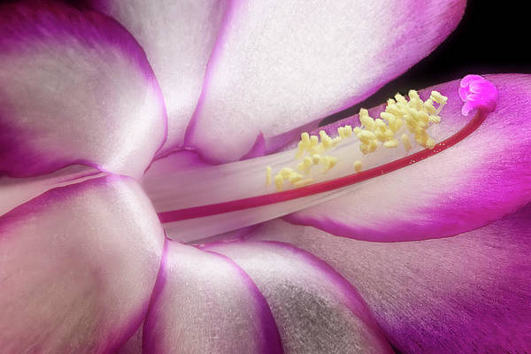 Wall Art - Photograph - Christmas Cactus by Tom Mc Nemar