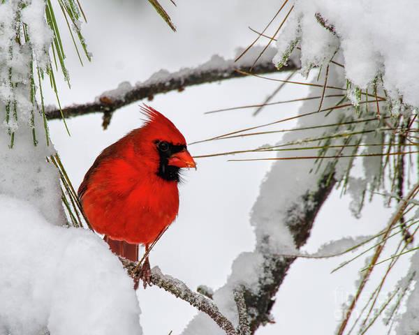 Photograph - Christmas Cardinal by Barbara Bowen